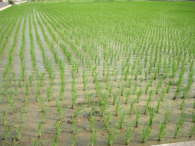 как выращивают рис в россии неповторимый