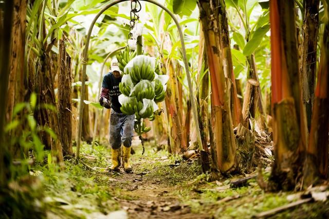 essays child labor banana plantations ecuador
