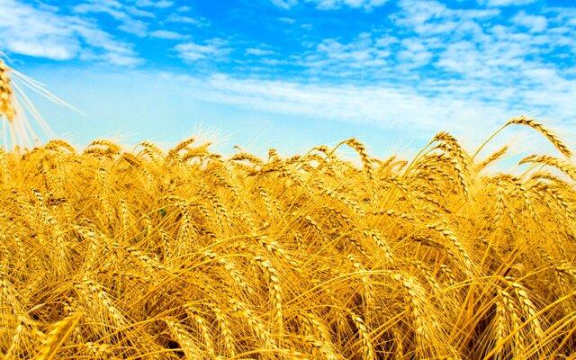 РФ будет крупнейшим вмире экспортером зерна— США