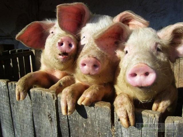 СМИ: свиньи и собаки в РФ получат личные номера