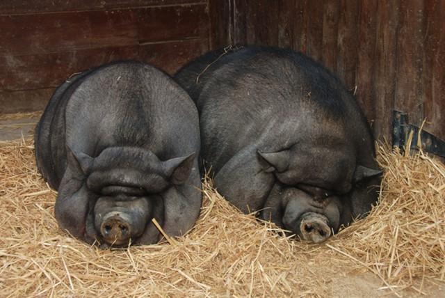 США: как свиньи создали городской рабочий класс