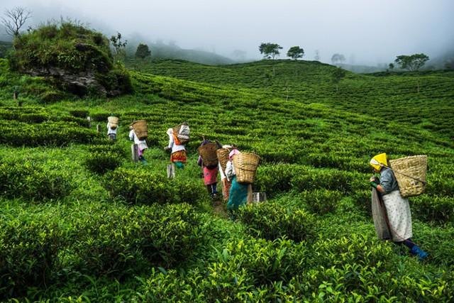 Глава Dilmah: роботы заменят людей при сборе чая