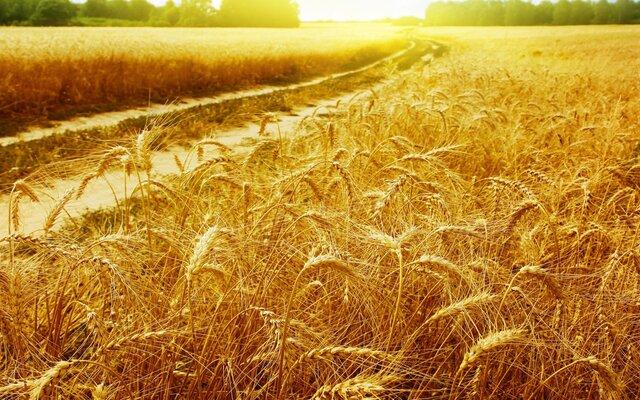 Росстат: сбор пшеницы вырос в 2017 г. до 85,8 млн т