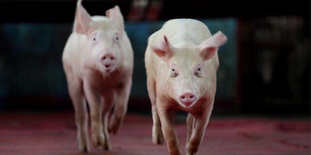 Специалисты: ЕСнепобедит вспоре сРФ поповоду экспорта свинины